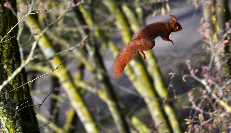 Moeiteloos zweeft hij door de boomtoppen van tak naar tak - Foto: ©Louis Fraanje