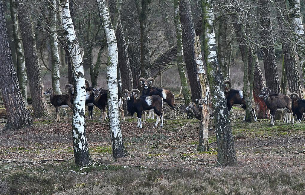 Tussen de bomen stond een kudde moeflons te kijken - Foto: ©Louis Fraanje