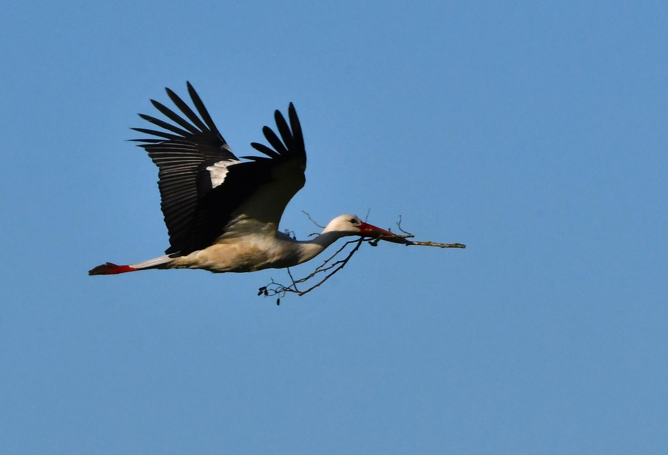 De ooievaar komt overvliegen met een snavel vol takken - Foto: ©Louis Fraanje