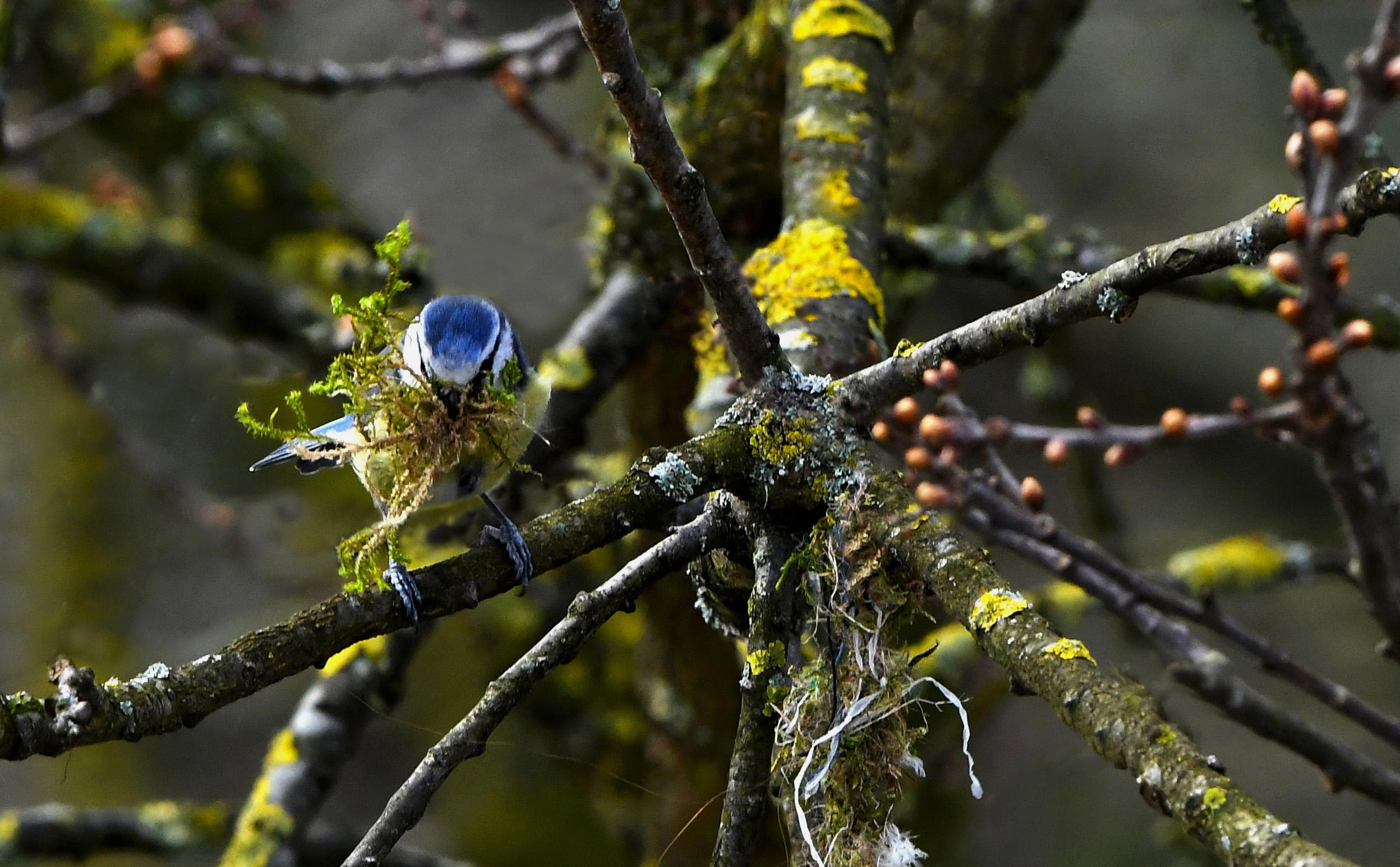 De pimpelmees is druk bezig met nestmateriaal te verzamelen, om een nestje te bouwen - Foto: ©Louis Fraanje