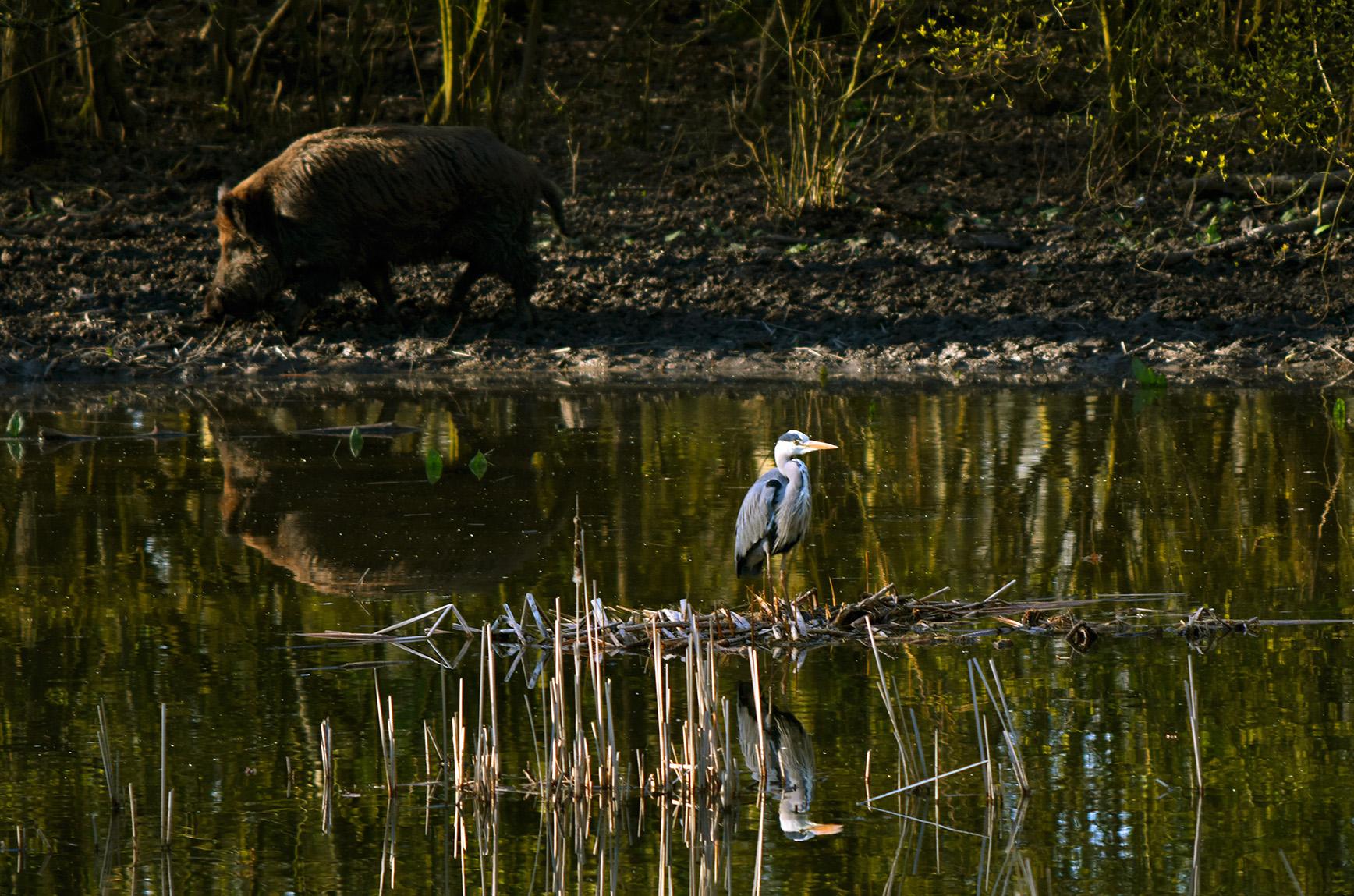Onverstoord staat de Blauwe reiger voor zich uit te kijken, met achter hem het wilde zwijn - Foto: ©Louis Fraanje