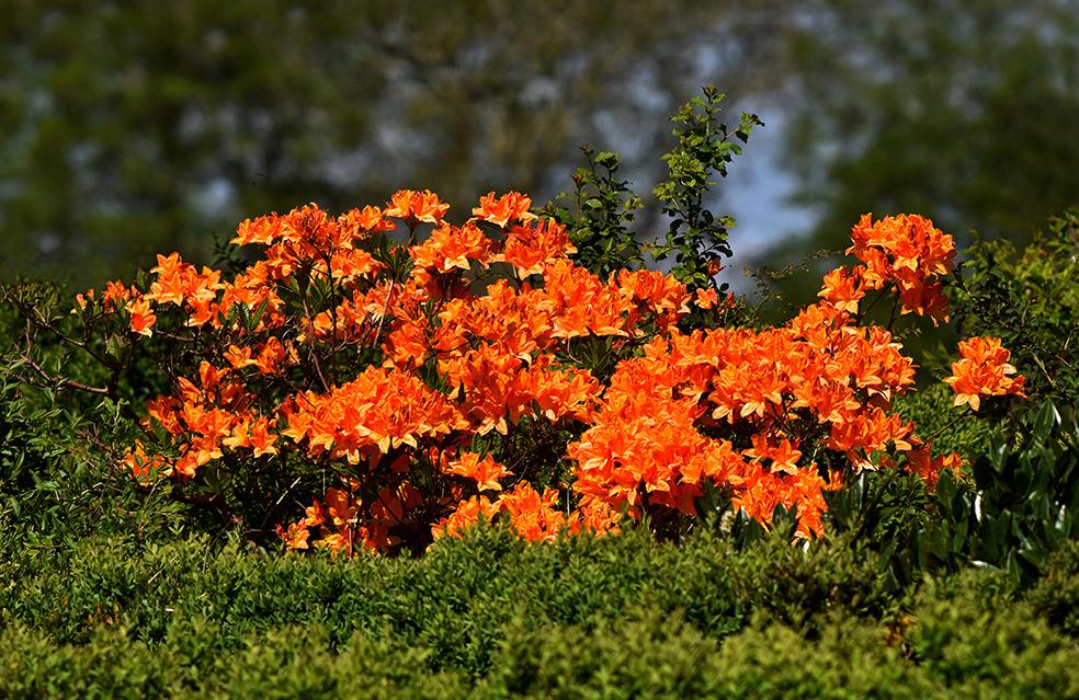 Een struik met prachtig bloeiende azalia's - Foto: ©Louis Fraanje