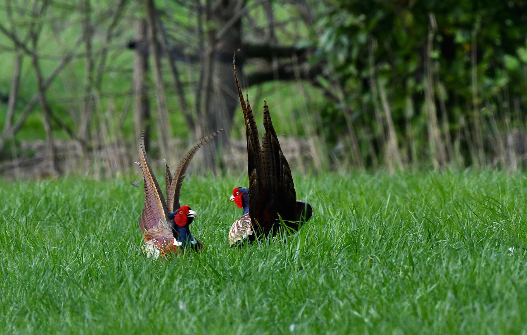 Twee fazanten 'oog in oog' en klaar voor de strijd - Foto: ©Louis Fraanje