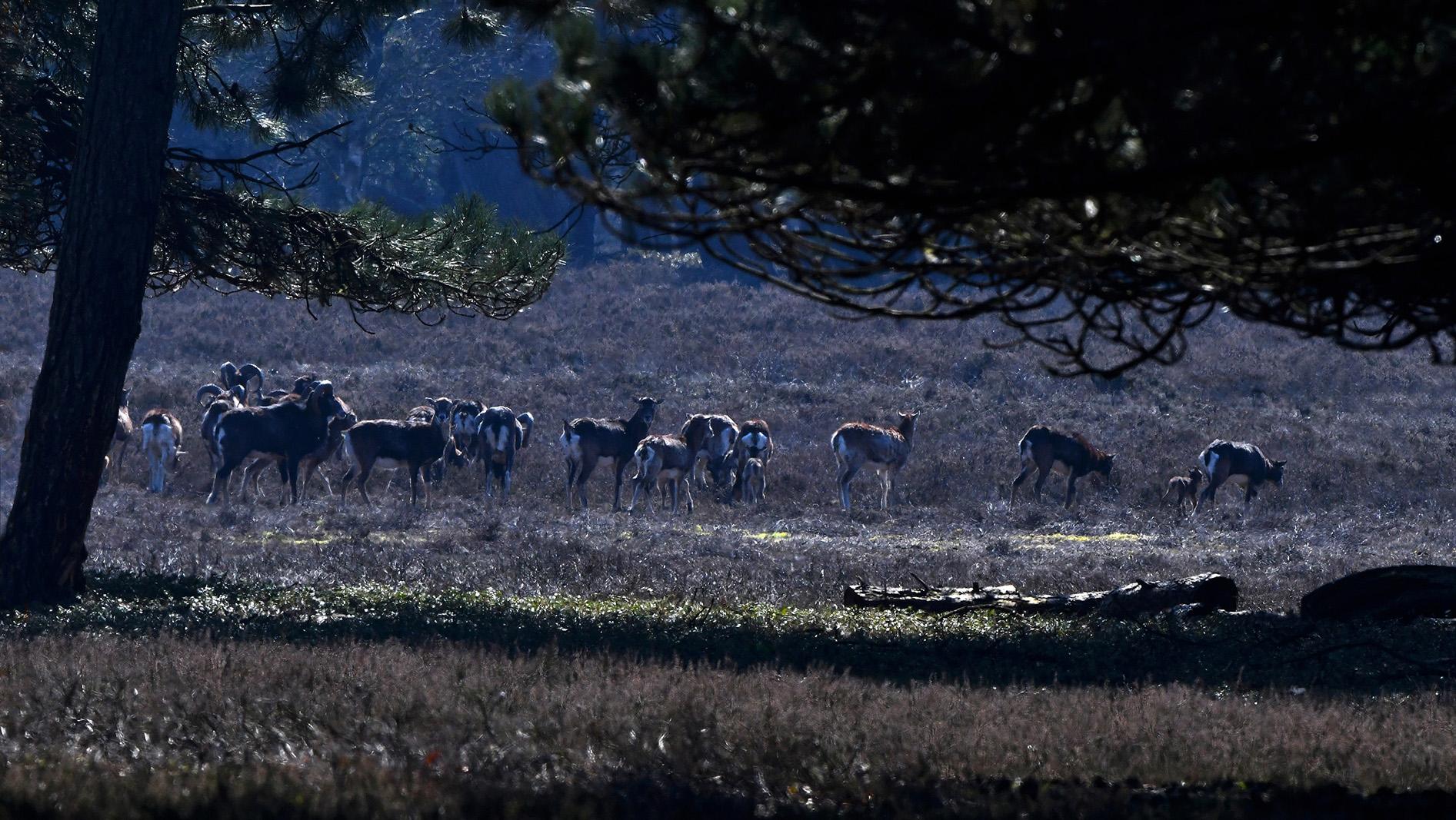 En daar verscheen de hele kudde moeflons in het veld – Foto: ©Louis Fraanje