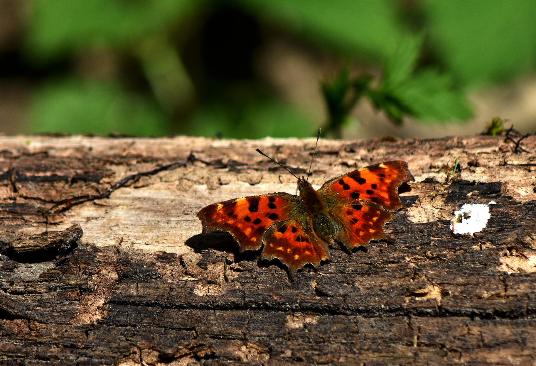 Op een oude boomstam zat een Gehakkelde Aurelia vlinder even uit te rusten - Foto: © Louis Fraanje