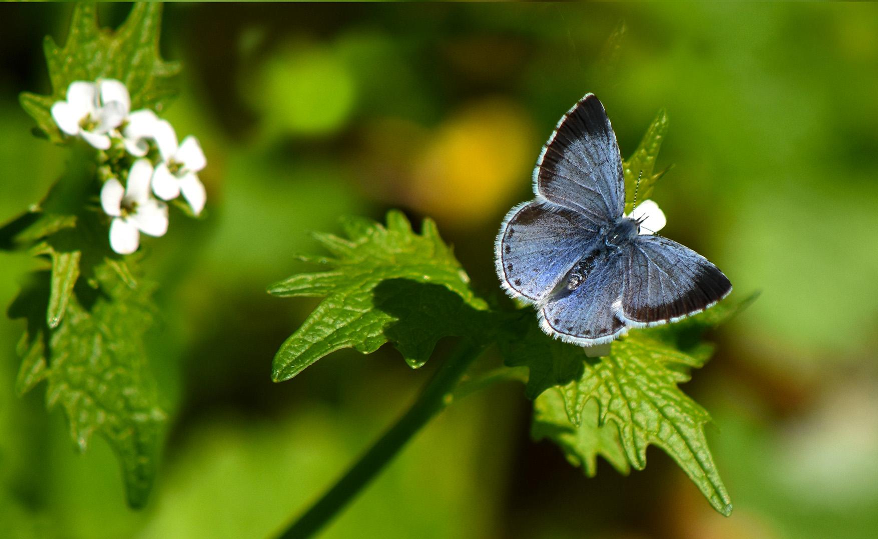 Ineens vloog daar het Boomblauwtje, het prachtige blauwe wezentje valt meteen op tussen het groen - Foto: ©Louis Fraanje