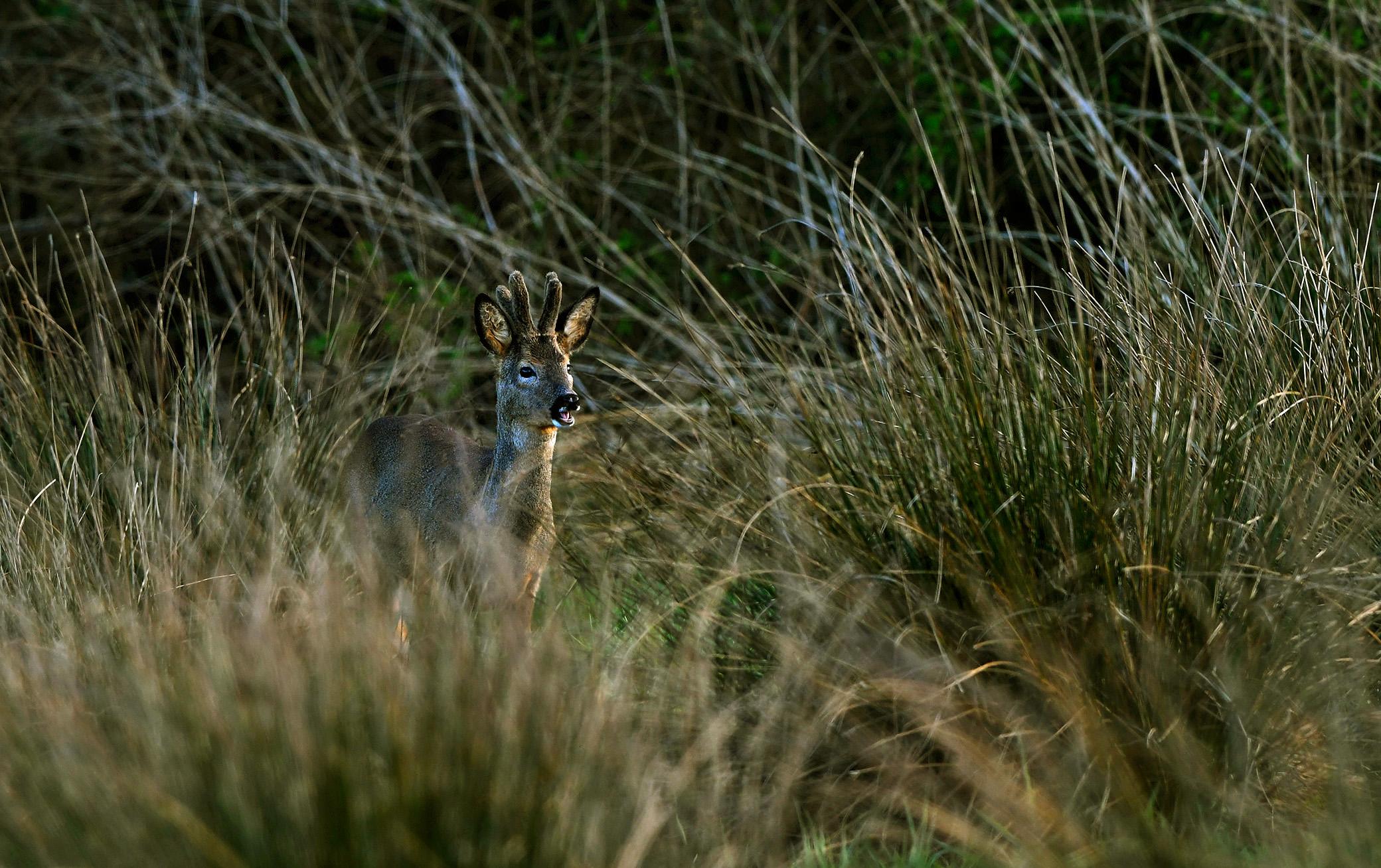 Een jonge reebok in bastgewei komt uit de dekking van het moerasbos - Foto: ©Louis Fraanje