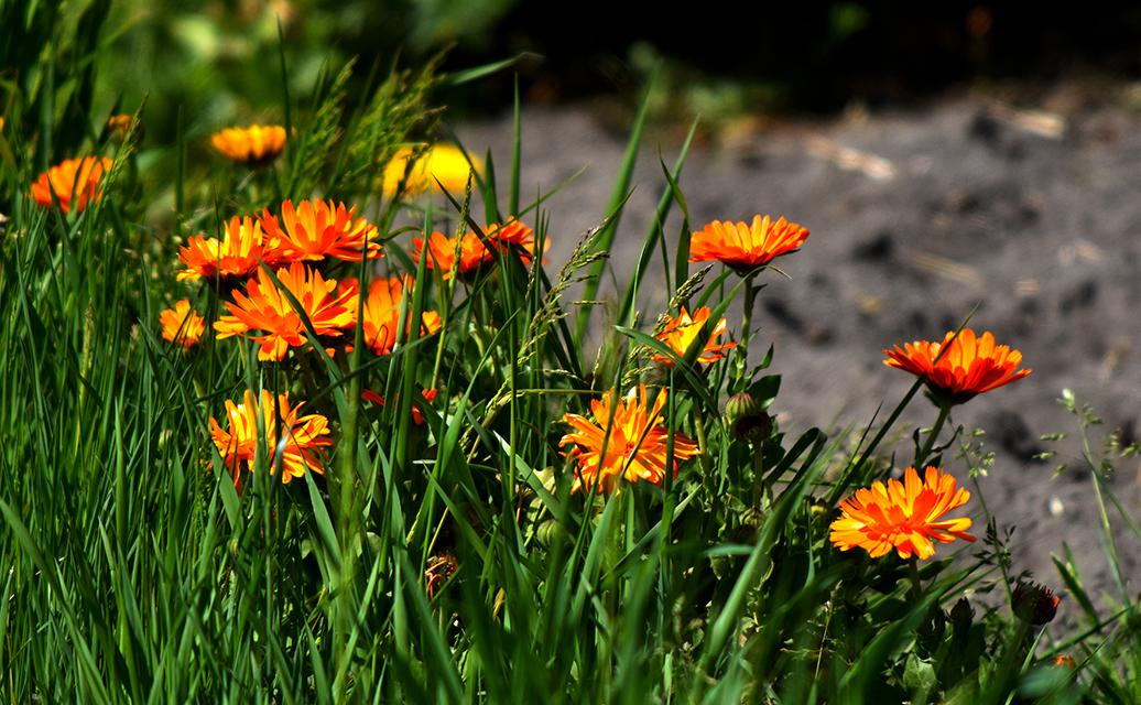 Goudsbloemen tussen het groene gras - Foto: ©Louis Fraanje