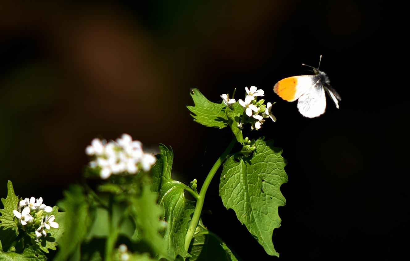 Opeens liet ook het Oranjetipje zich zien, wat een feest - Foto:© Louis Fraanje