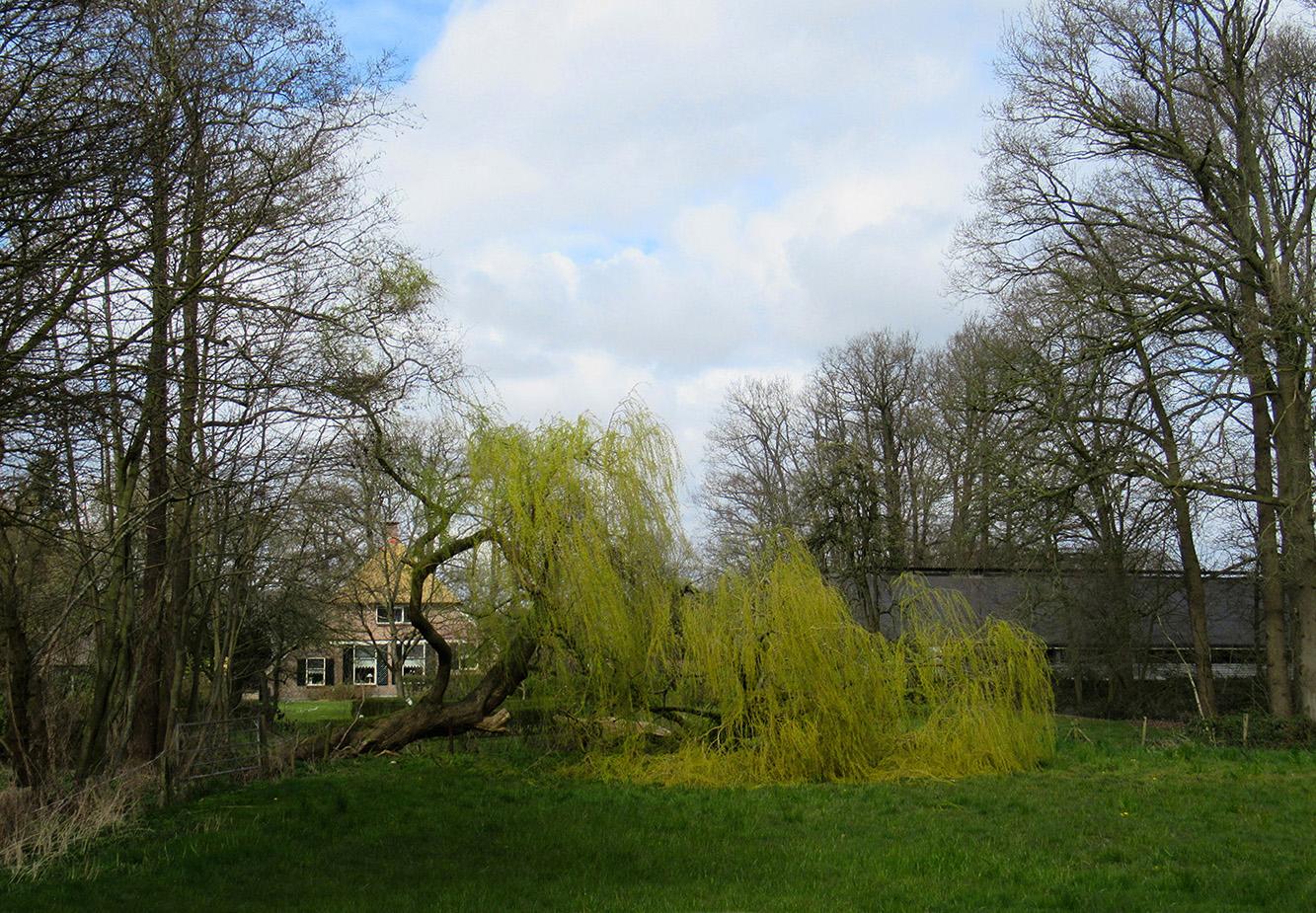 Bij een flinke windvlaag is de hele kruin van de boom er uitgewaaid - Foto: ©Louis Fraanje