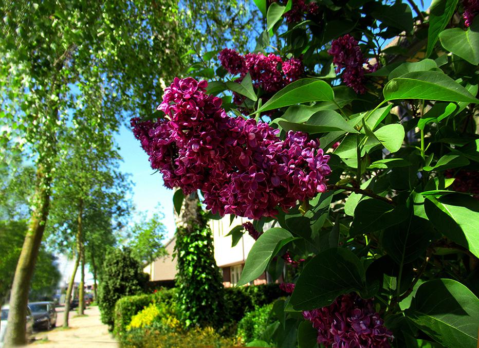 Prachtige paarse seringen aan de rand van het dorp - Foto: ©Fransien Fraanje