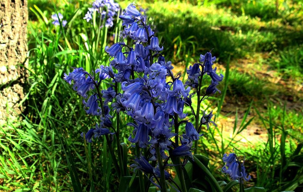 Sprookjesachtig mooi zijn ze en vooral dat die diepblauwe kleur - Foto: ©Fransien Fraanje