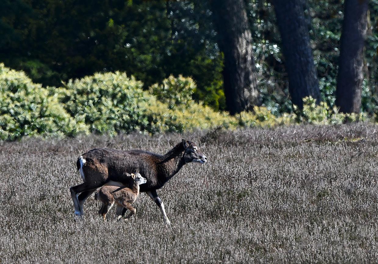 Een ooi zet het op een lopen en het lammetje probeert haar bij te houden – Foto: ©Louis Fraanje