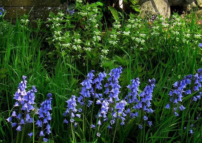 Witte dovenetel met wat lager in de berm mooie wilde hyacinten - Foto: ©Fransien Fraanje