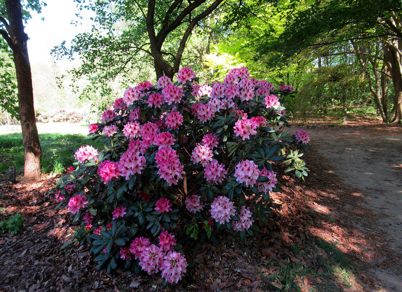 Allerlei soorten rhododendrons kwamen we tegen onderweg - Foto: ©Fransien Fraanje