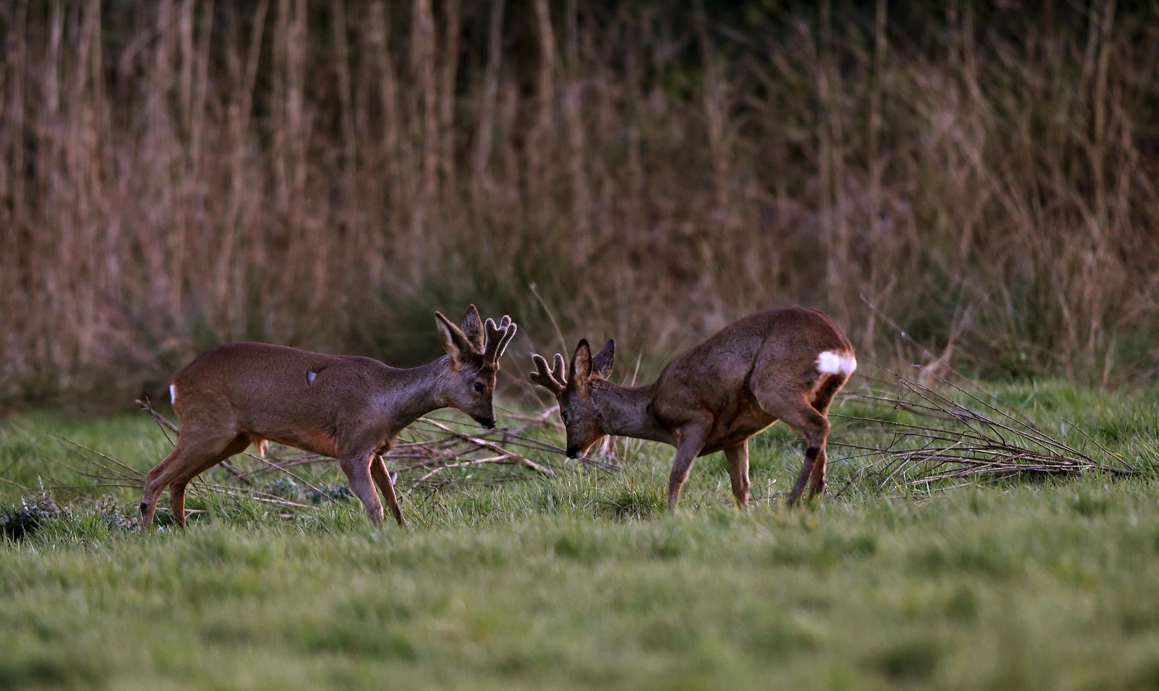 De tweelingbroers in bastgewei in het open veld - Foto: ©Louis Fraanje