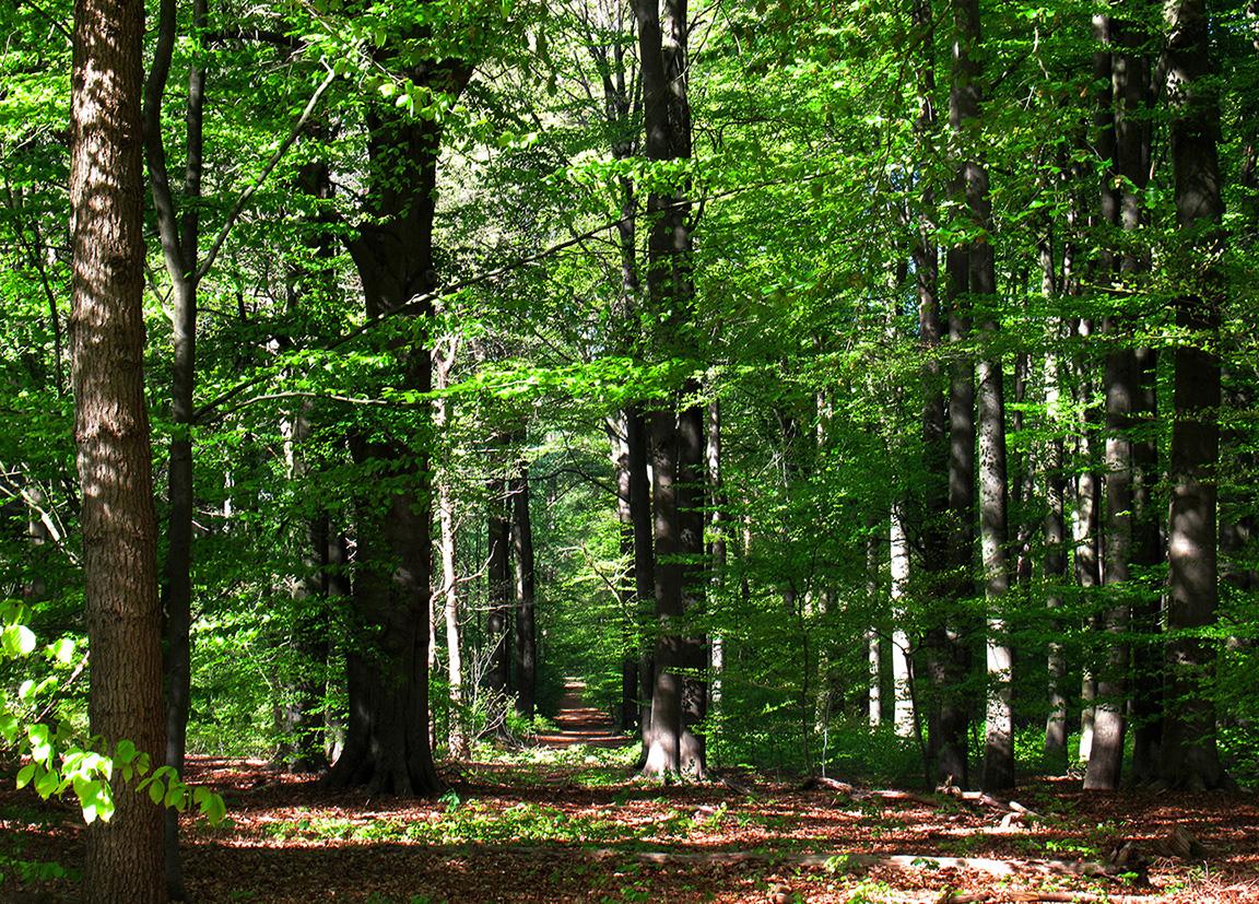 In het hoge beukenbos van Oostereng, net een Groene Kathedraal in de natuur! - Foto: ©Fransien Fraanje