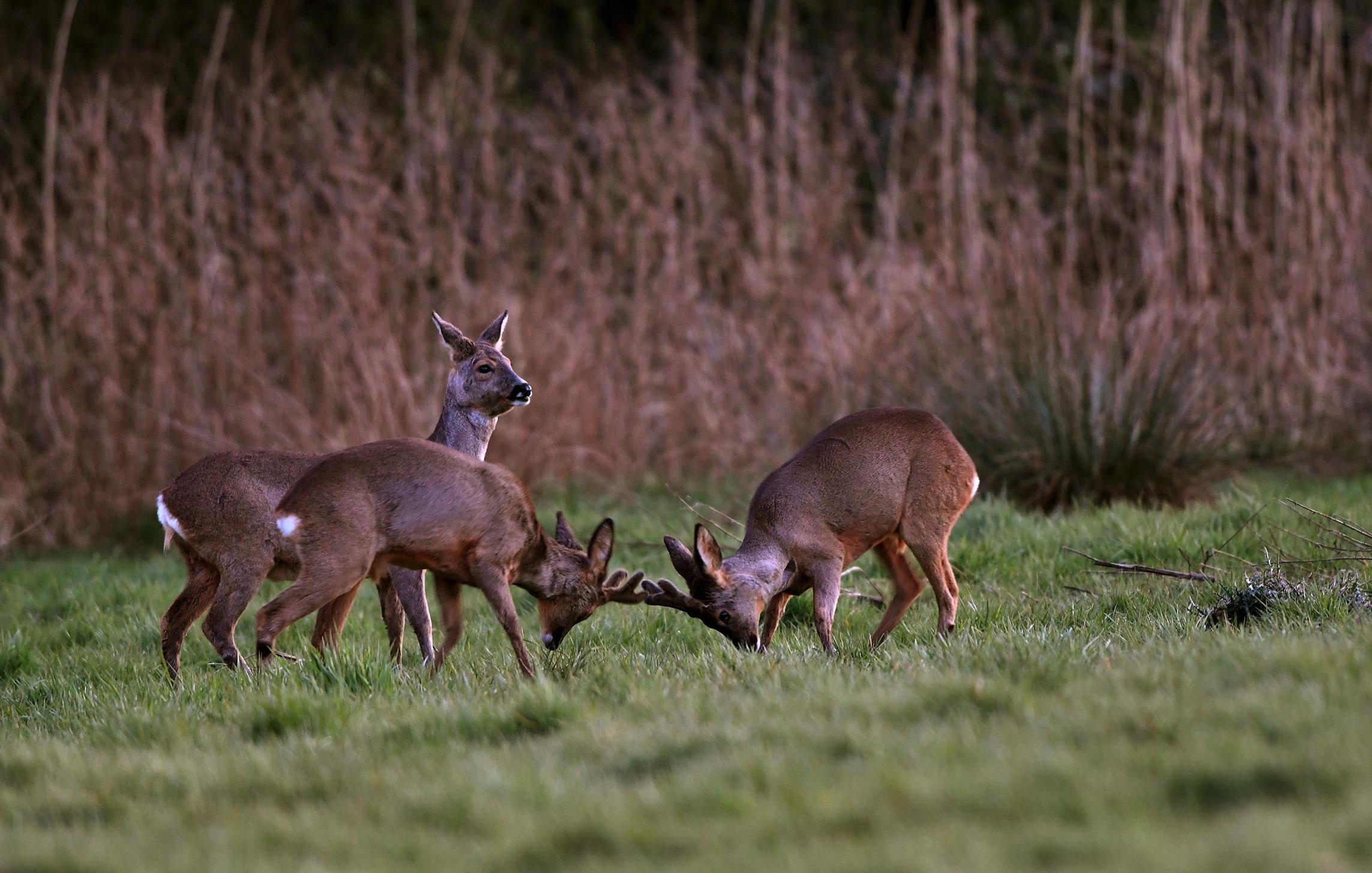 Terwijl de jongens zo bezig zijn, blijft moeder alert en houd zo de omgeving in de gaten - Foto: ©Louis Fraanje