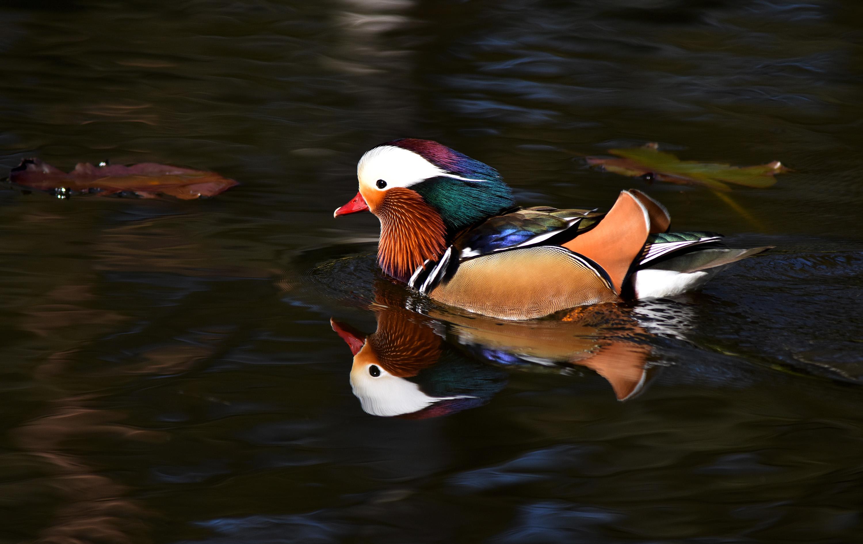 In de weerspiegeling op het water lijkt hij 'dubbel' zo mooi -Foto: ©Louis Fraanje