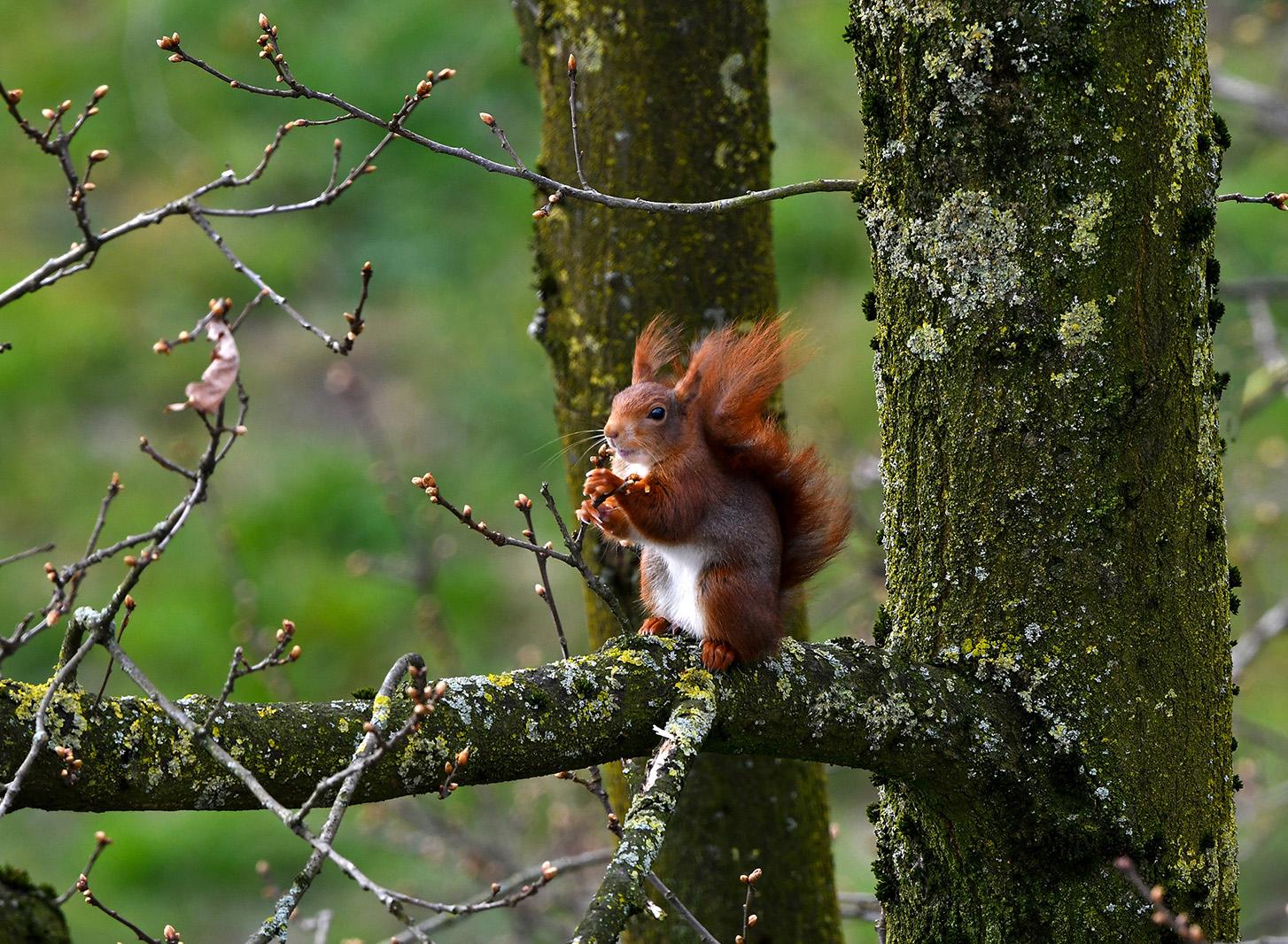 De eekhoorn zit lekker aan de jonge knoppen te kabbelen - Foto: ©Louis Fraanje