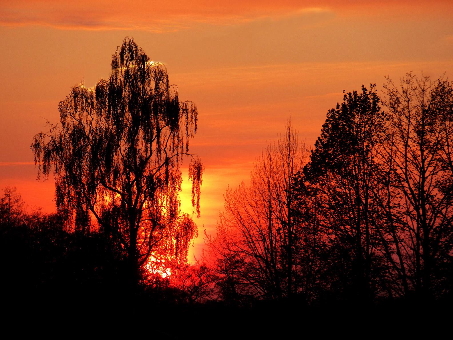 Als de zon achter een treurberk langzaam wegzakt, lijkt het wel of de boel in de brand staat - Foto: ©Louis Fraanje