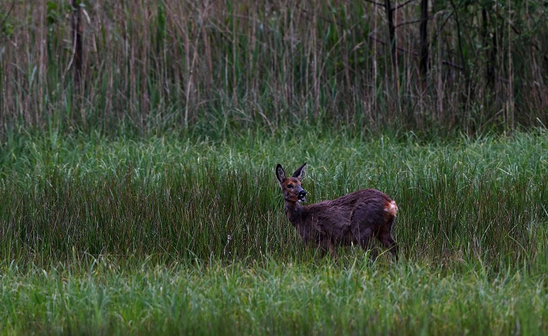 Deze reegeit stond al te wachten in het hoge gras, blijkbaar kennen ze elkaar - Foto: ©Louis Fraanje