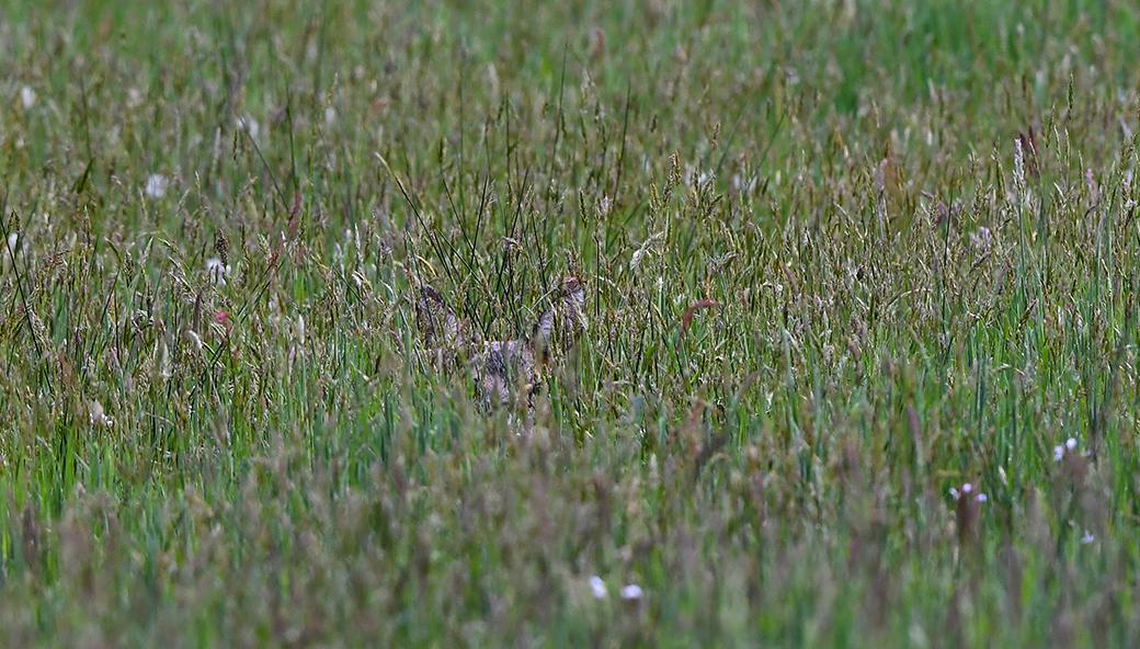 Twee oortjes verscholen in het hoge gras - Foto: © Louis Fraanje
