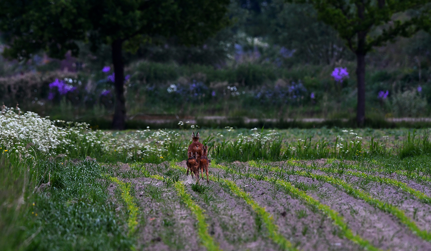 Uiteindelijk kiezen ze toch het hazen(reeën)pad en is de idylle voorbij - Foto:©Louis Fraanje