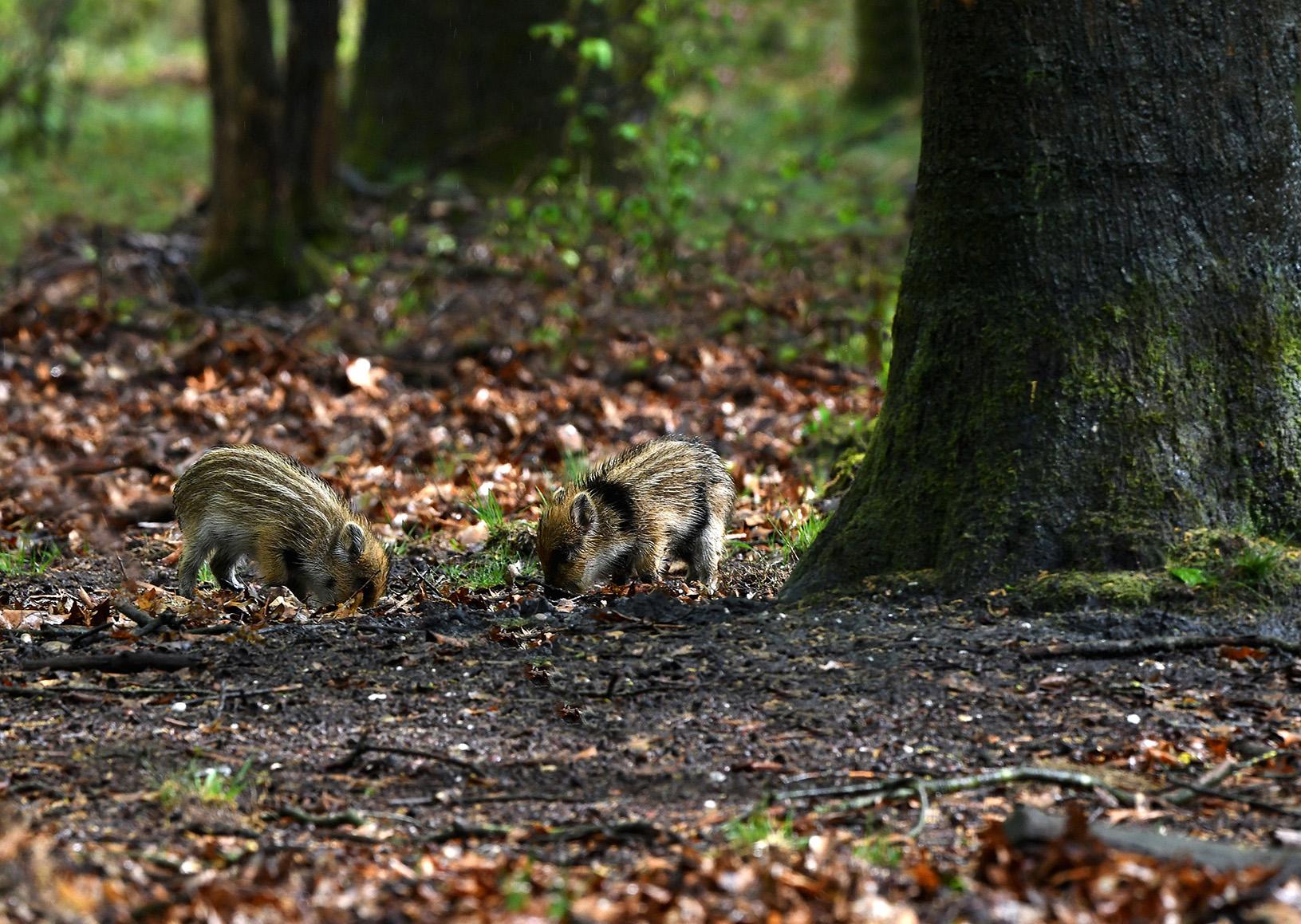 Twee biggen aan het wroeten met rechts het dwars gestreepte biggetje - Foto: © Louis Fraanje