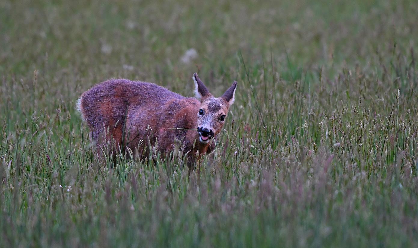 Daarna ging de reegeit maar eens lekker smullen van het gras en de paardenbloemen - Foto: ©Louis Fraanje