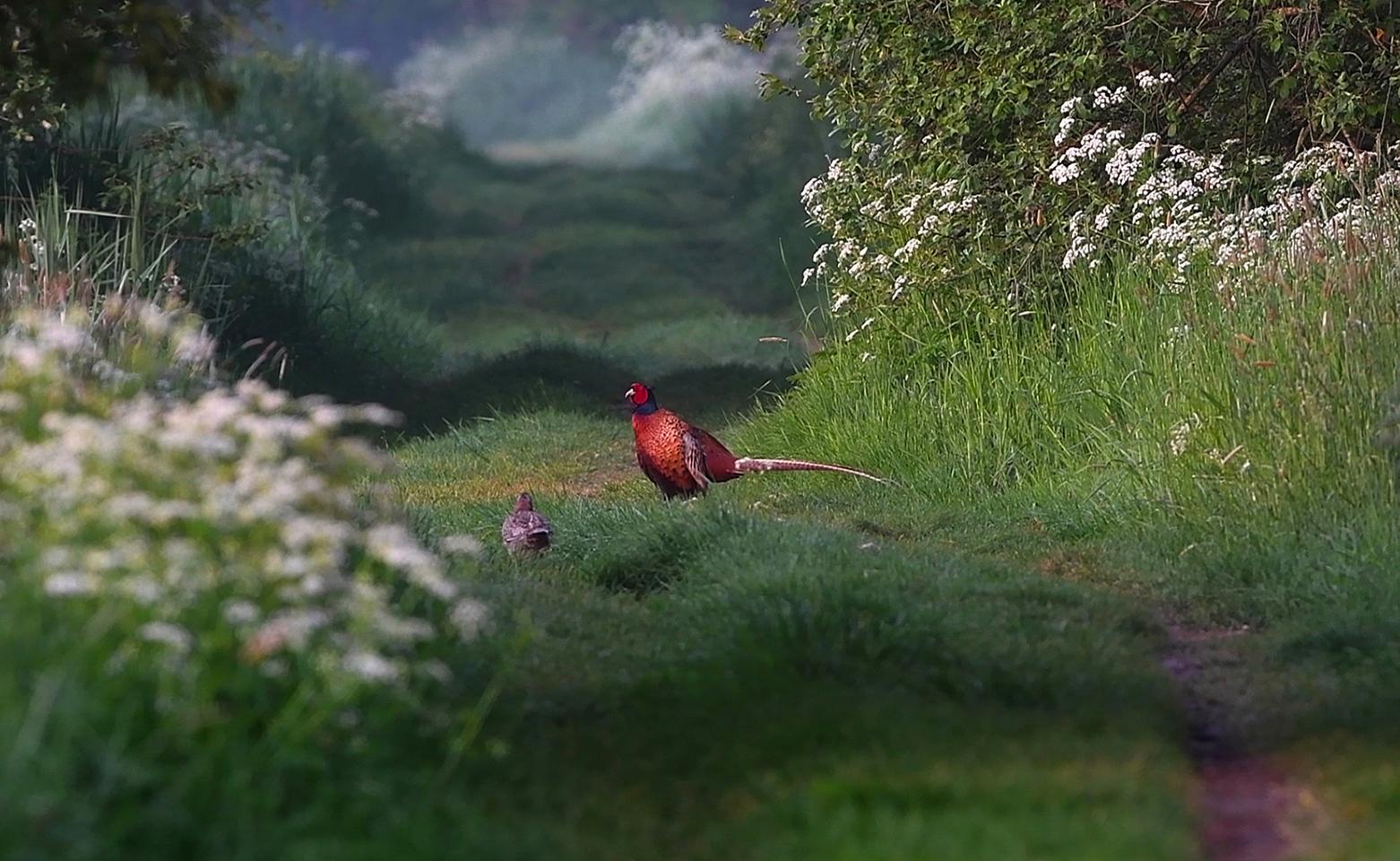 Op het stille bospad liep een fazantenechtpaar - Foto: © Louis Fraanje