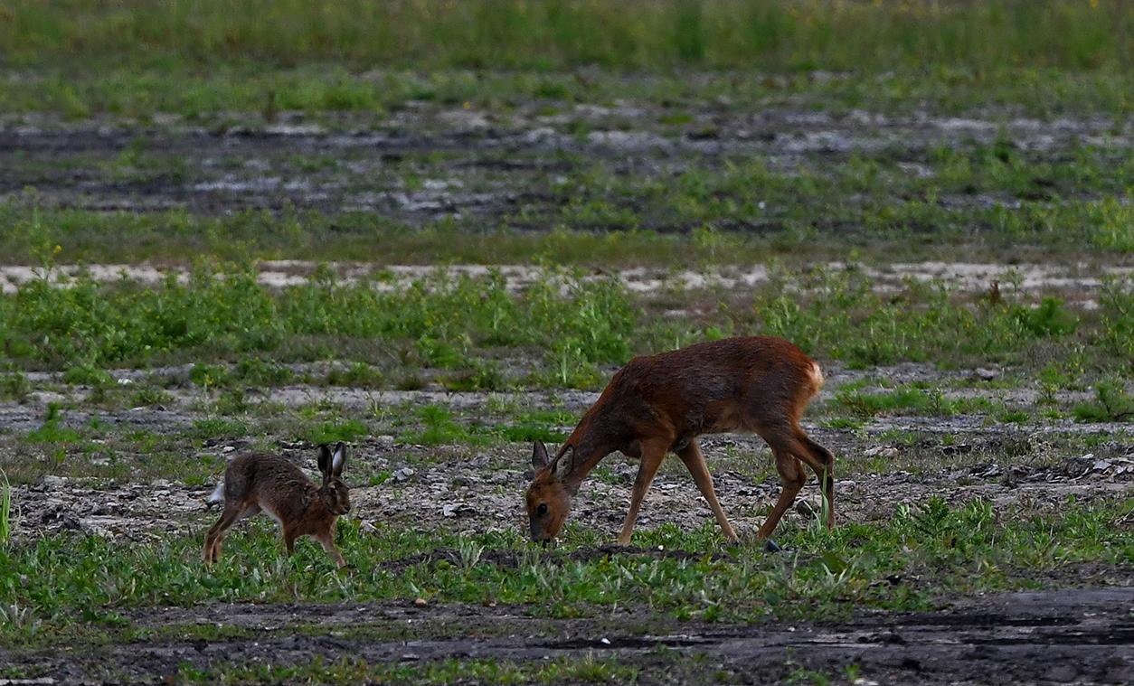 Het ree is rustig aan het grazen, komt er ineens een haas in beeld - Foto: ©Louis Fraanje