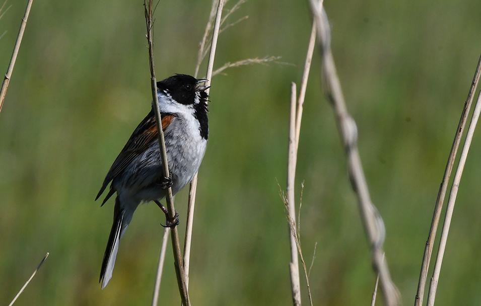 Rietgors zit even later ergens hoog in de top van een stengel te zingen - Foto: ©Fransien Fraanje
