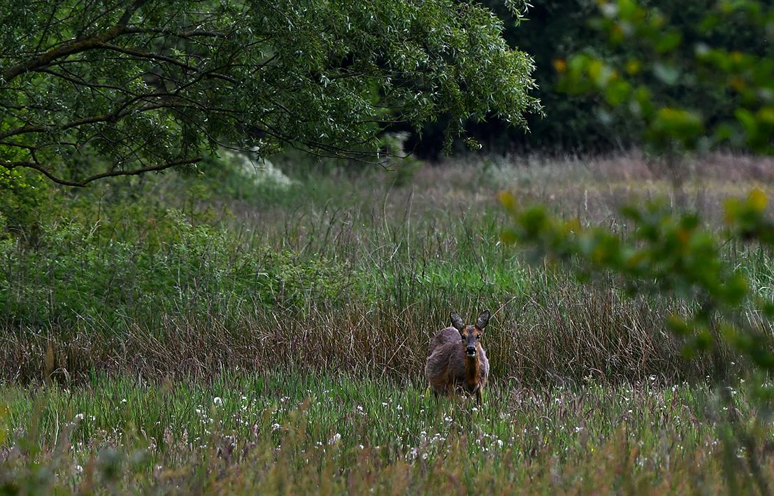 Aan haar kogelronde buik kun je wel zien dat ze zwaar drachtig is en op 'alledag' loopt- Foto:©Louis Fraanje