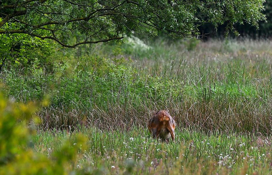 Vanachter bekeken heeft de drachtige reegeit ook een volle uier zo te zien - Foto:©Louis Fraanje