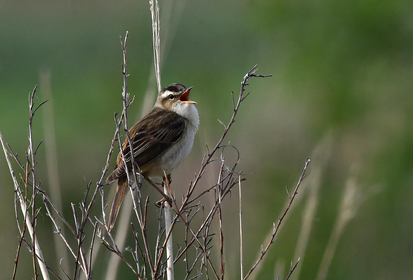 De rietzanger zingt zijn hoogste lied, wat een geweldig volume voor zo'n klein vogeltje - Foto: ©Louis Fraanje