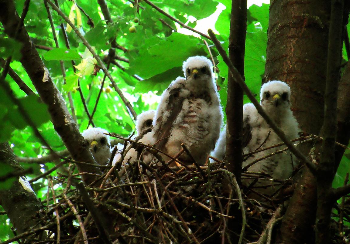 Vier jonge Sperwers op het nest hoog in een takvork van een boom – Foto: ©Fransien Fraanje