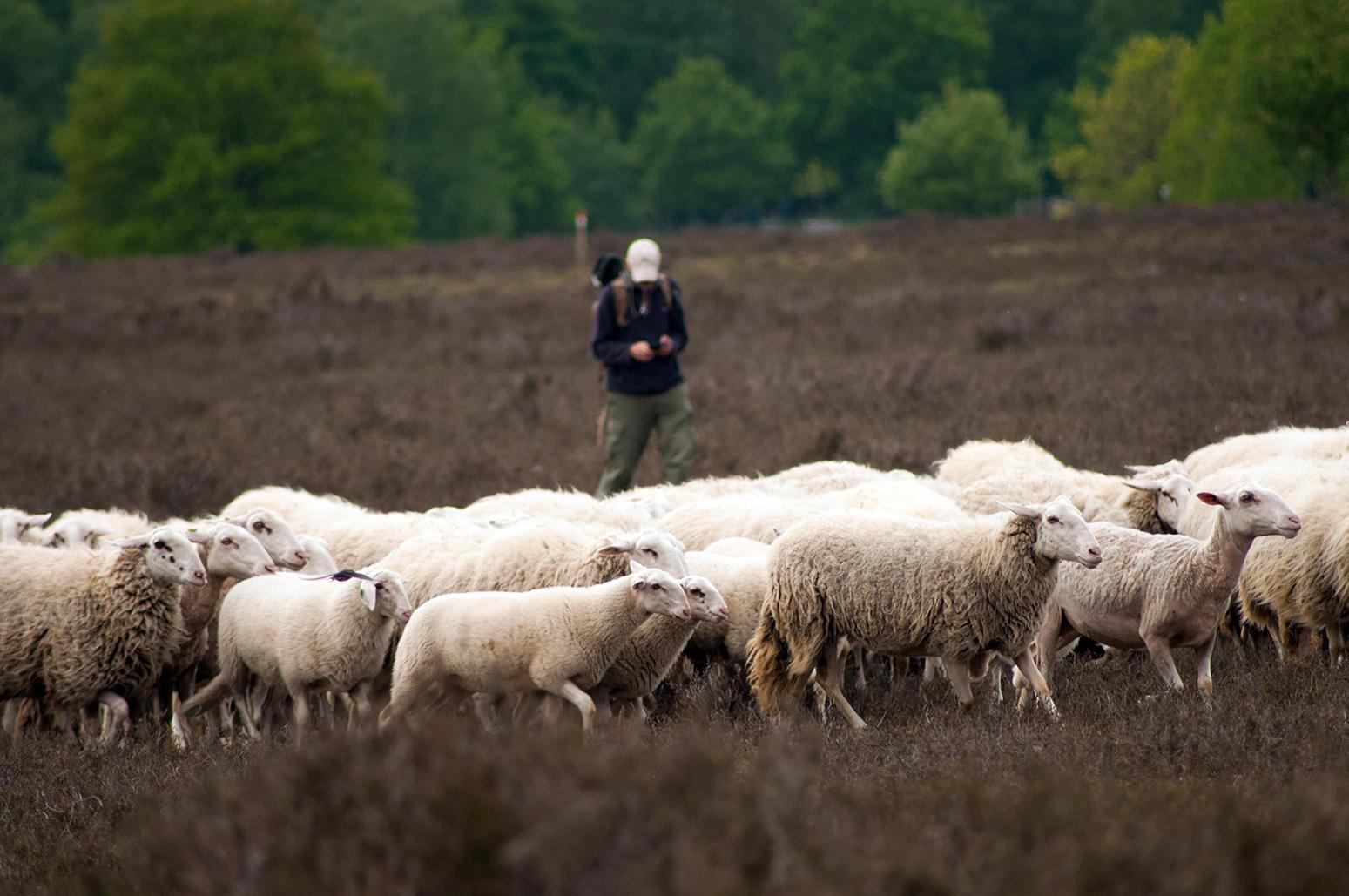 De herder komt met zijn kudde in onze richting - Foto: ©Anja Arentzen