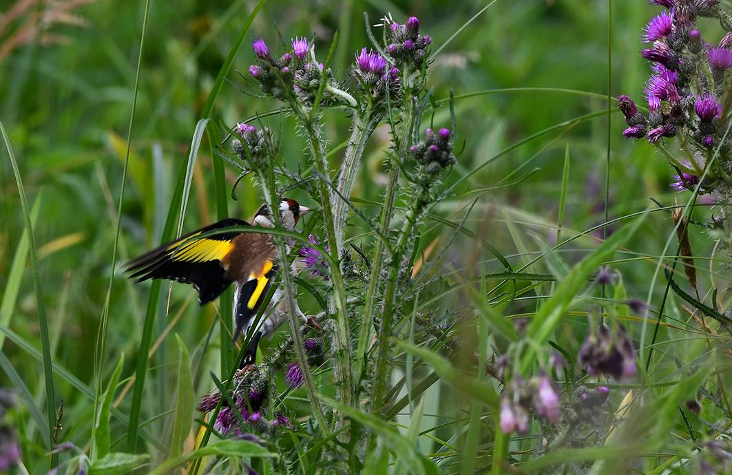 In de vlucht valt vooral de brede, gele vleugelstreep op – Foto: ©Louis Fraanje