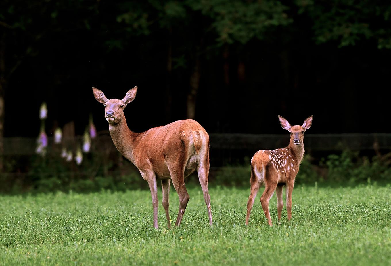 Oog in oog met het tweetal op de wildweide van De Roggenkamp - Foto: ©Louis Fraanje