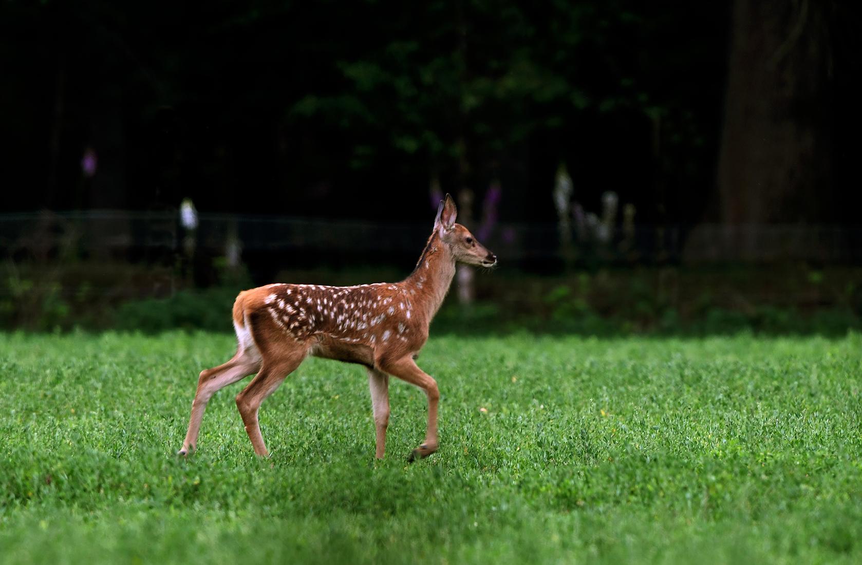 Heel parmantig stapte het kalf door het gras - Foto: ©Louis Fraanje