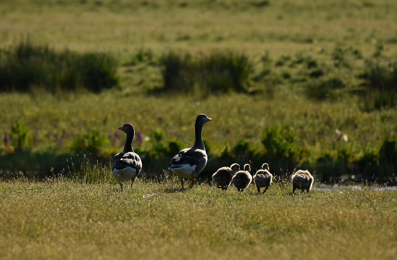 Het ganzenechtpaar wandelt heel op haar gemakje met hun vier kindertjes naar het water - Foto: ©Louis Fraanje