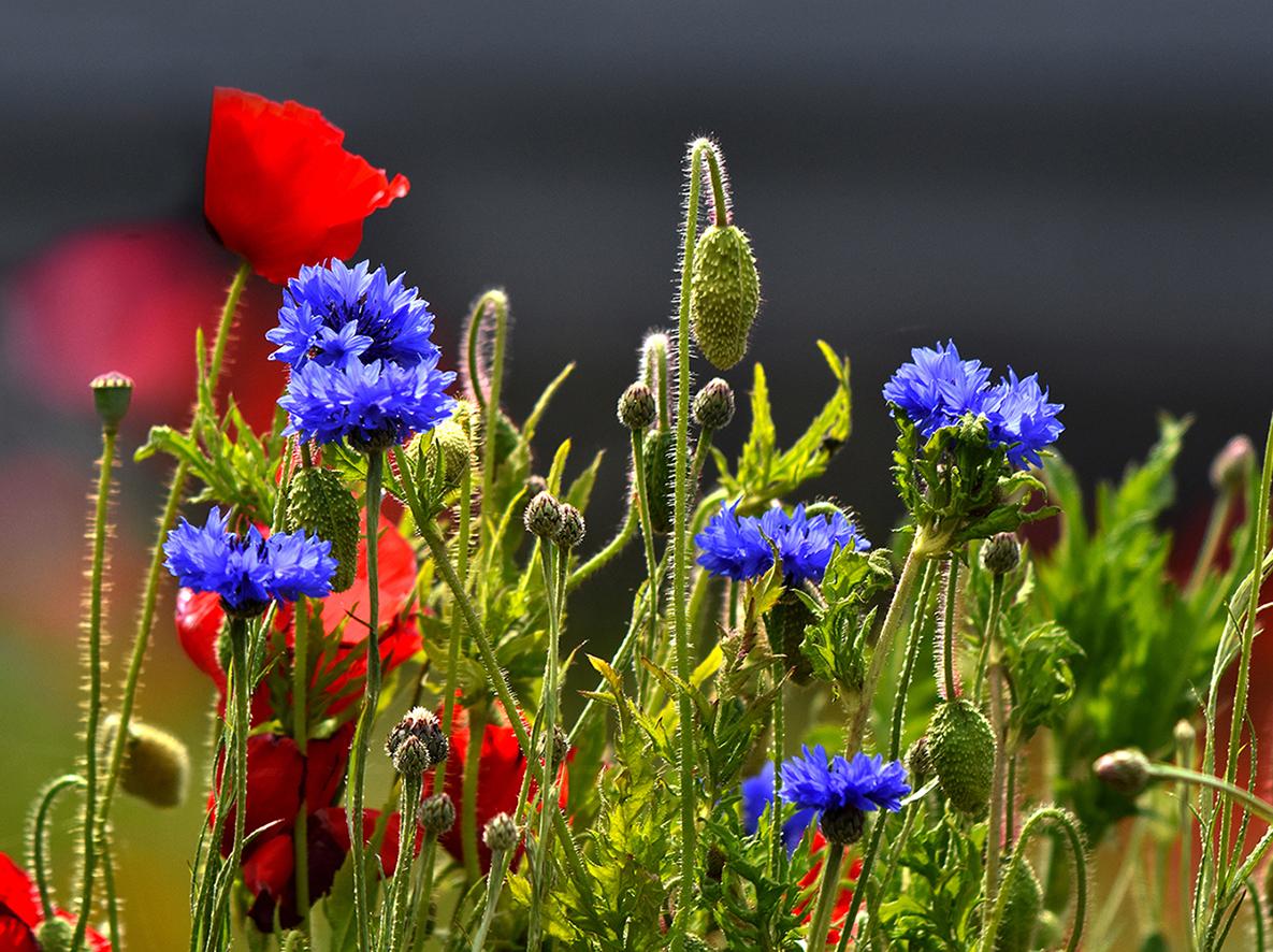Blauwe Korenbloemen zijn ook hele herkenbare boerenbloemen - Foto: ©Louis Fraanje