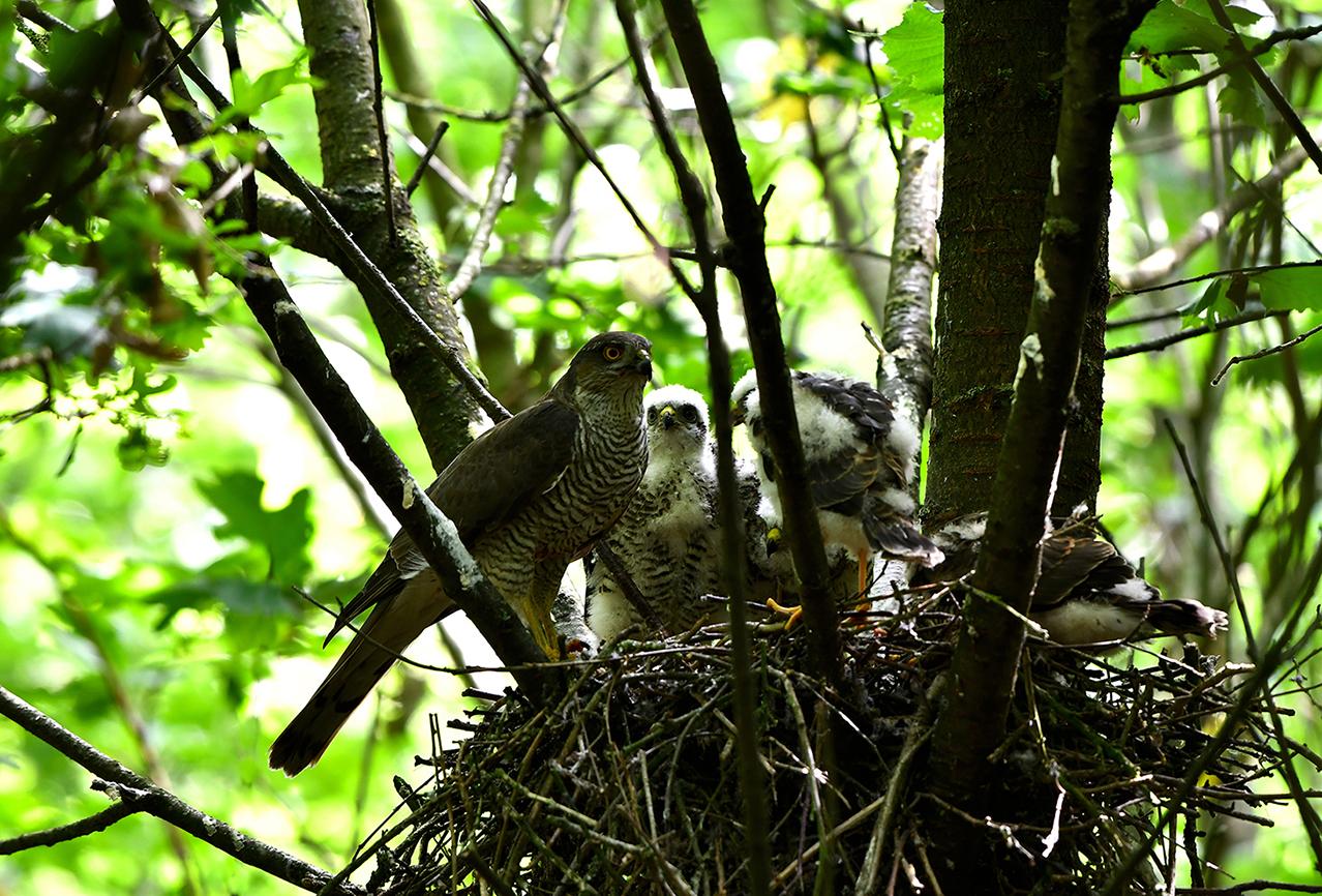 Sperwer-vrouwtje komt haar jongen voeren op het nest – Foto: ©Louis Fraanje