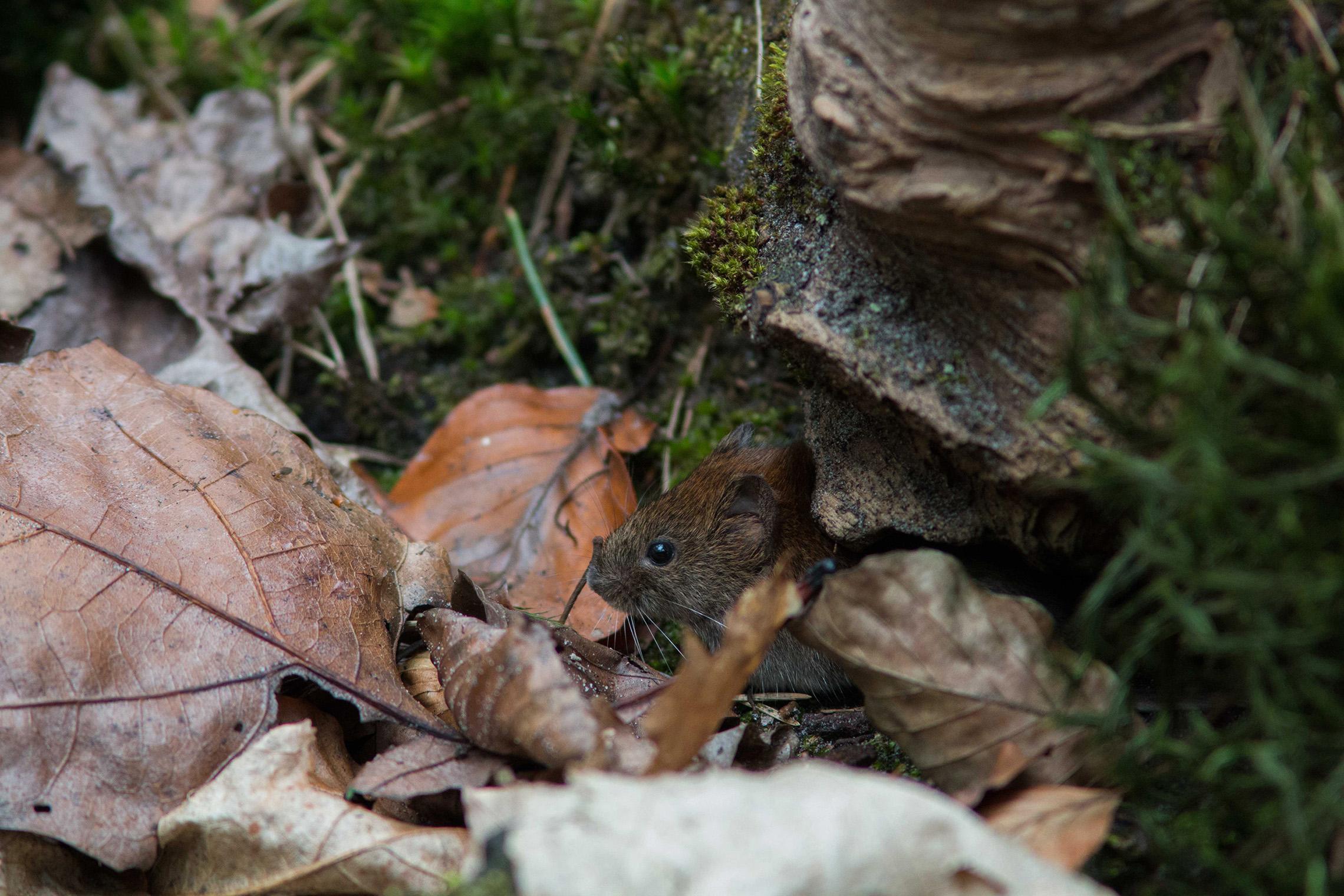 Bosmuizen verslinden zaden in grote aantallen en ze verstoppen er ook nogal wat van in een hele reeks 'voorraadkasten' - Foto: ©Yvonne Arentzen