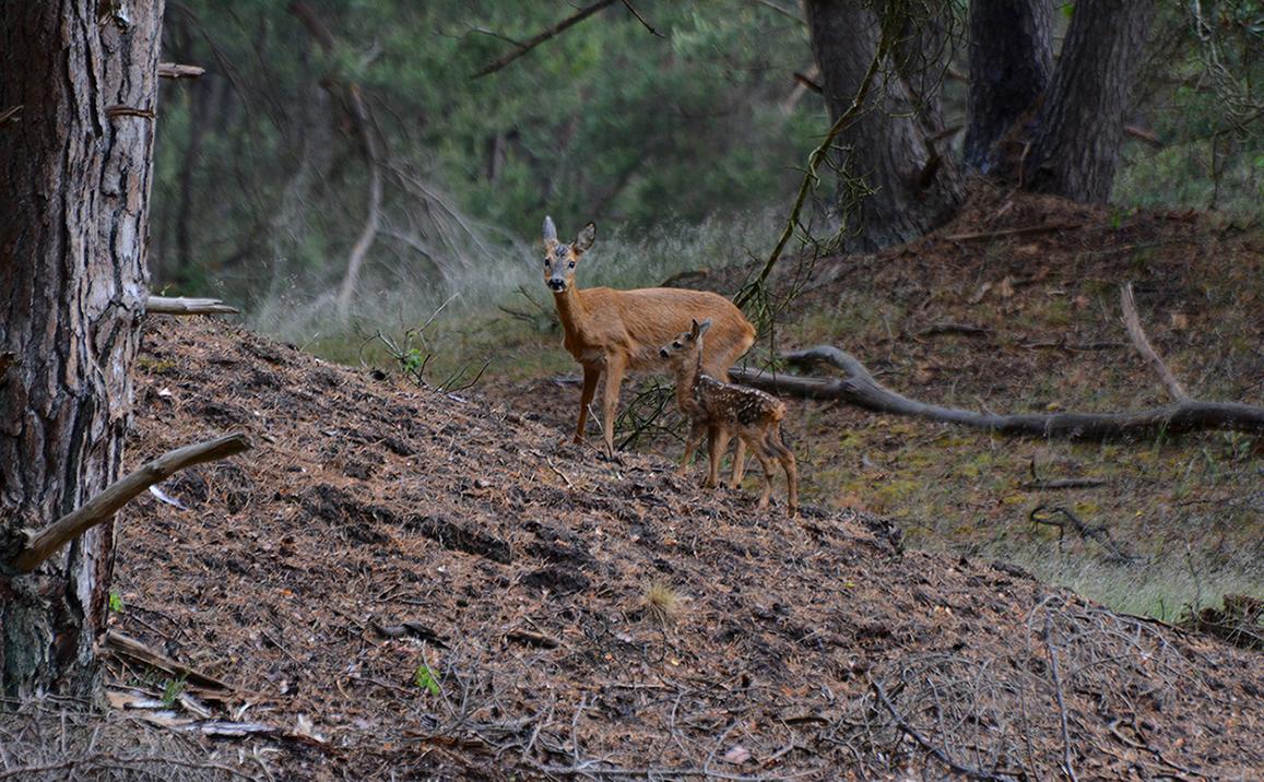 Heel alert draait ze haar oren in verschillende richtingen - Foto: ©Florus van den Berg