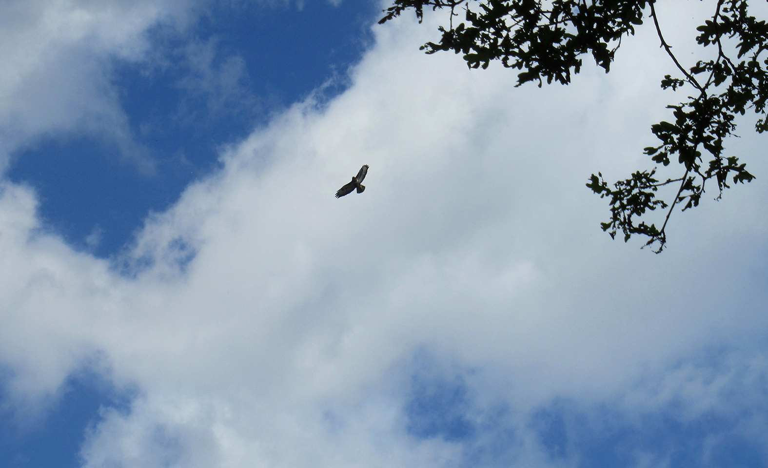 Hoog in het luchtruim boven ons cirkelt een buizerd op de thermiek - Foto: ©Fransien Fraanje