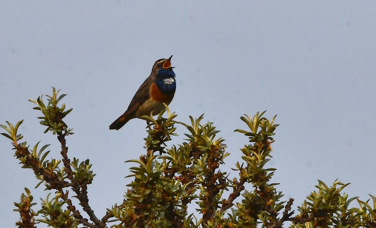 Bovenop de tak van een Duindoorn zat de Blauwborst te zingen - Foto: ©Louis Fraanje