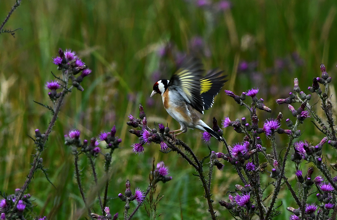 met uitgespreide vleugels – Foto's: ©Louis Fraanje