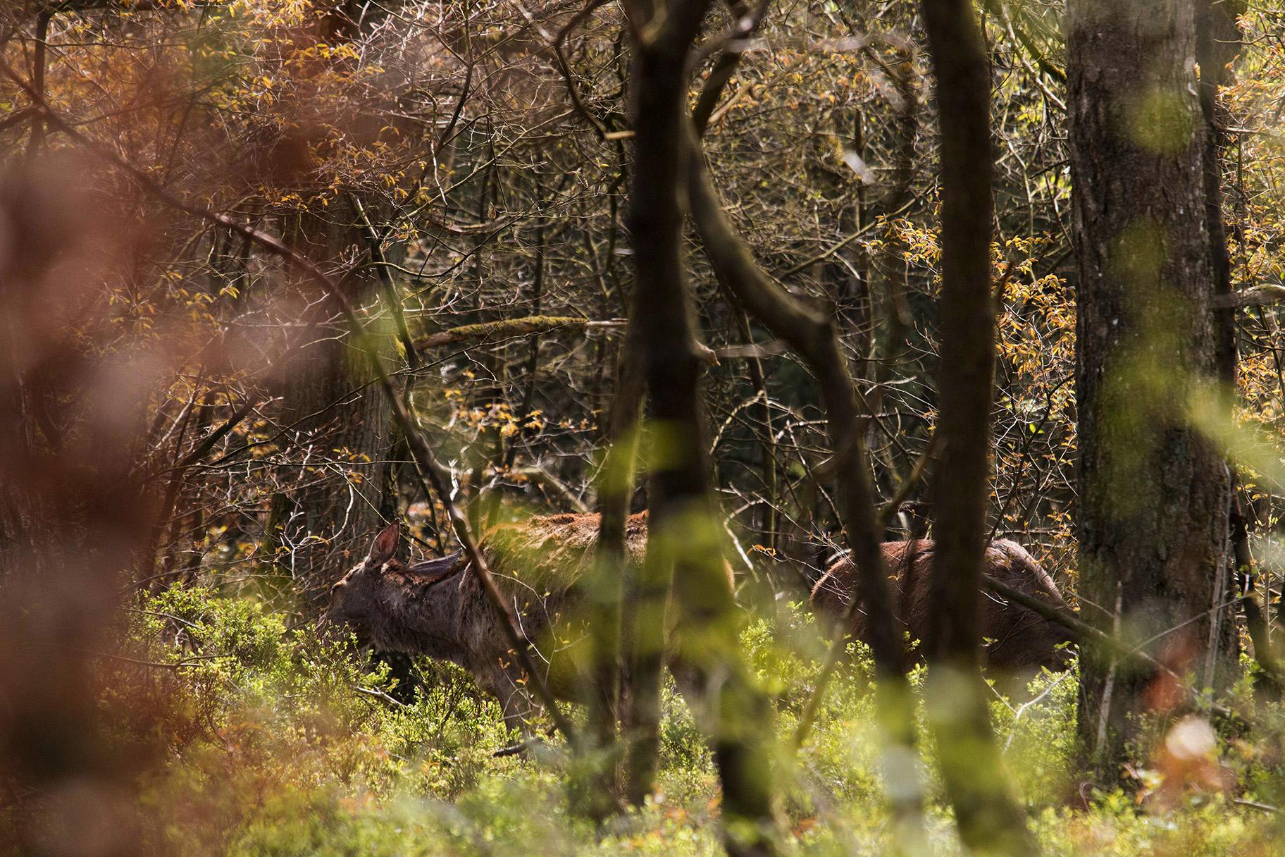 Waar het zich veilig weet, gedraagt roodwild zich vertrouwd – foto: Yvonne Arentzen